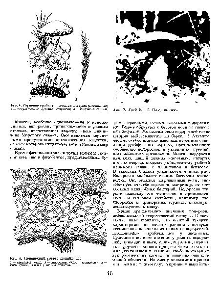 Рис. 8. Схема строения цитоплазматической мембраны.  1 - корковый слой; 2 - включения клеток водорослей; з...