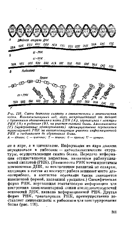 Схема белкового синтеза в
