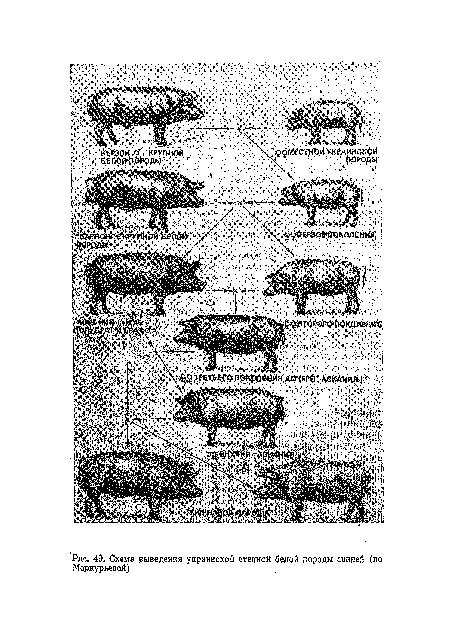 Схема выведения украинской степной белой породы свиней (по Меркурьевой) .