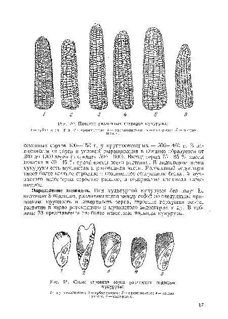 кукурузы, Схема строения